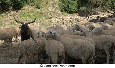 Huge Flock Of Sheeps, Pyrenees, Spain - native Version -...