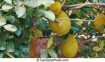 Huge fruits of the breadfruit grow right on the street of Thailand. Exotic fruits on the tree