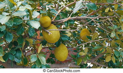 Huge fruits of the breadfruit grow right on the street of...