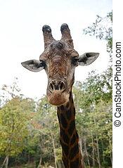 Huge giraffe walking in zoopark in Thailand