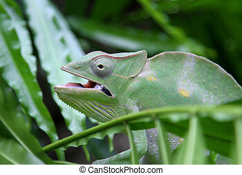 Green Chameleon camouflages itself in the midst of the green lea