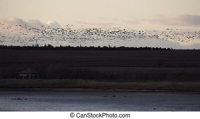 Huge group of cranes flying in slow motion at sunset near ...