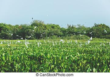 Huge group of white egrets above aguape vegetation in...