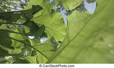 Huge Leaves against Clear Blue Sky