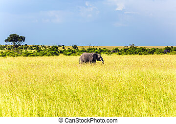 Huge lonely elephant in the grass of the savannah. Elephants are the largest mammals. Afrika. The Masai Mara Reserve in Kenya. The concept ecological, exotic, extreme of and photo tourism