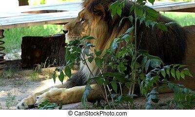 Huge Male Lion Lies Behind a Bush