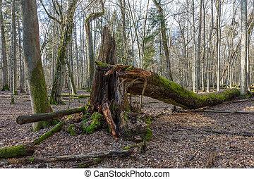 Huge maple tree broken in springtime forest