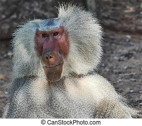 The silvery baboon smiles to spectators - Huge modern safari...