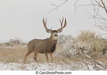 Huge Mule Deer Buck - a huge mule deer buck on a snowy day