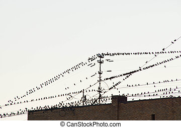 birds on the wires in the city