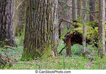 Huge oak tree moss wrapped in spring