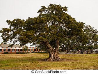 A huge old live oak tree in a public park in Georgia