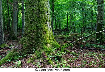 Huge old oak tree moss wrapped