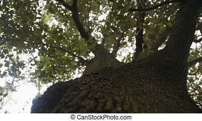 huge old tree with a green crown