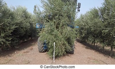 Huge Olive Harvester combine passing over rows of Olive Trees and softly shaking and detaching the olives of the branches.