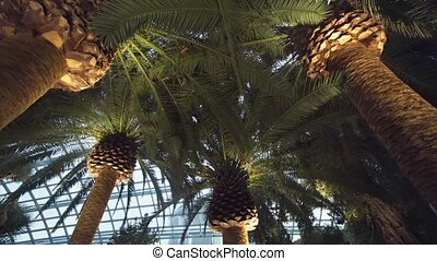 Huge Palm Trees inside the Flower Dome. 1080p footage 1080p...