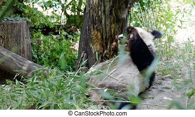 huge panda a bear - Big bear panda eats bamboo shoots