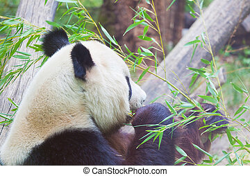 huge panda a bear is bamboo escapes