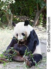 huge panda a bear is bamboo escapes
