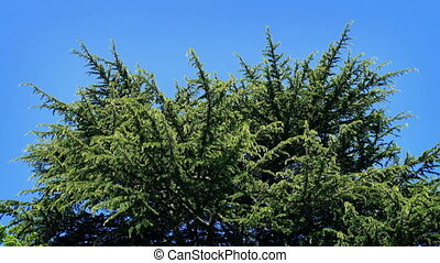 Huge Pine Tree On Sunny Day - Large conifer on a bright blue...