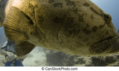 Huge potato cod on its natural habitat - A close up shot of...
