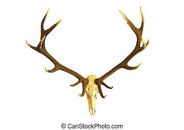 huge red deer buck skull