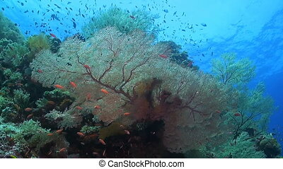 Huge sea fans with plenty of fish