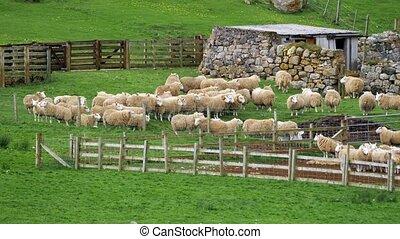 Huge Sheep Herd, Scotland - Graded Version - Graded and...