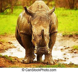 Huge South African rhino after mud bath at Kruger safari...