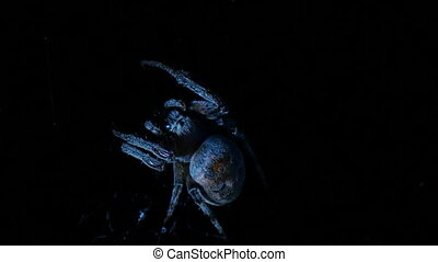 huge spider chewing, at night hunt