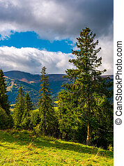 Huge spruce trees of Carpathian forests. beautiful scenery...