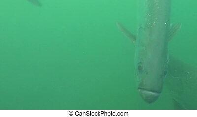 Huge Tarpon underwater shot Florida Keys