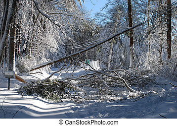 Huge trees that fell during a winter blizzard - Large tree ...