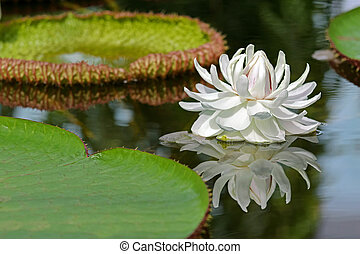 Huge white flower of Giant Waterlily (Victoria amazonica) ...