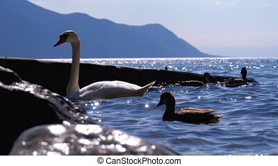 Huge White Swan and Ducks Swim in a Clear Mountain Lake with Blue Water. Switzerland
