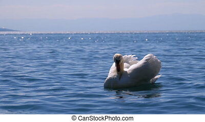 Huge White Swan Swims in a Clear Mountain Lake on backdrop of the Swiss Alps