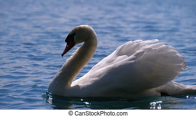 Huge White Swan Swims in a Clear Mountain Lake with Crystal...