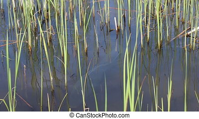 huge wild carps spawn in the undergrowth , wild nature