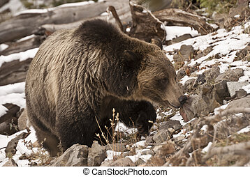 Huge yellowstone Grizzly Bear