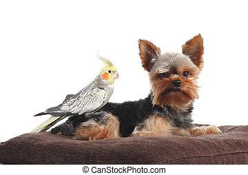 huisdieren, yorkshire terrier, en, cockatiel, vogel, het poseren, samen, op, een, hoofdkussen