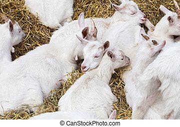 huiselijke goats, in, de, boerderij