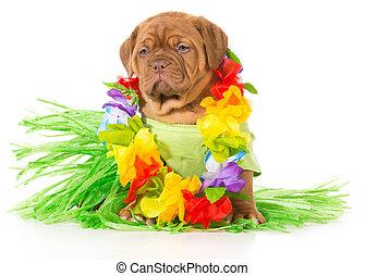 hula, chien