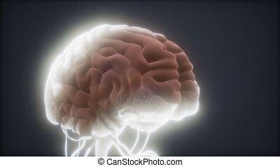 humain, animé, modèle, cerveau