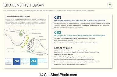 humain, cbd, infographic, horizontal, business, avantages