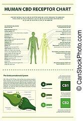 humain, cbd, infographic, vertical, récepteur, diagramme