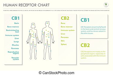 humain, infographic, horizontal, business, récepteur, diagramme