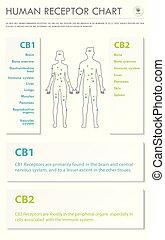 humain, infographic, vertical, business, récepteur, diagramme