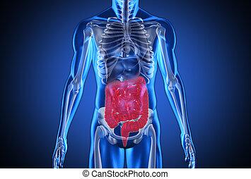 humain, numérique, bleu, système, digestif, mis valeur