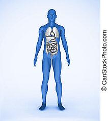 humain, organes, numérique, visible, bleu