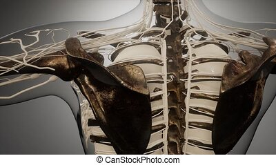 humain, os, visible, corps, transparent